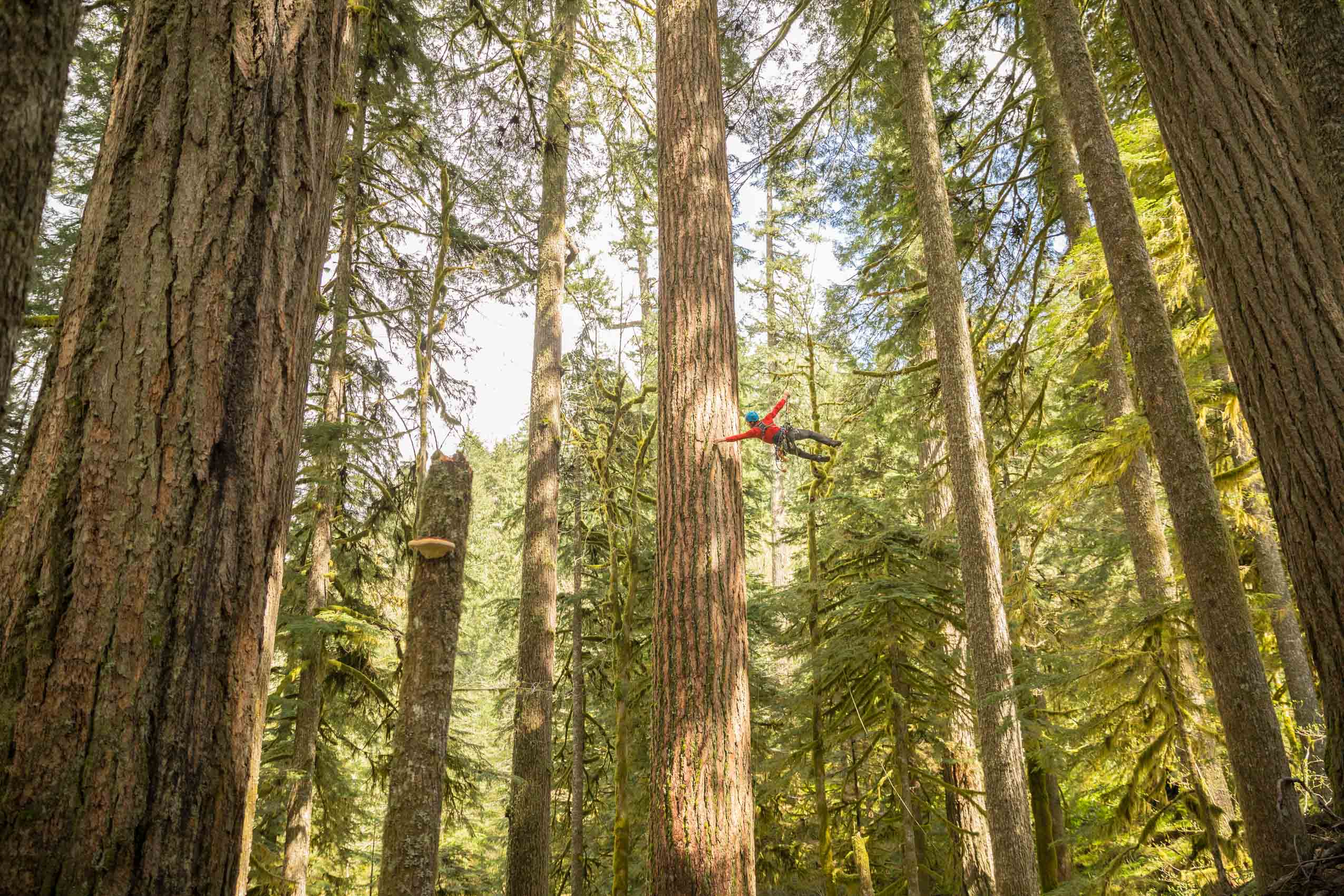 arbortist working in old growth on mt hood Rich Crowder